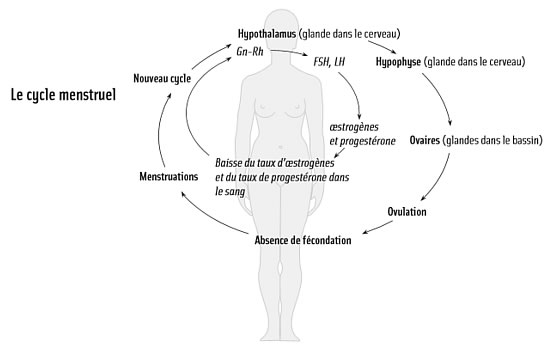 Cycle Menstruel et hormones des femmes