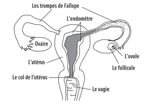 Systeme reproducteur feminin