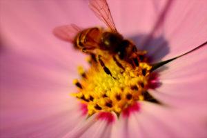 Le pollen pour traiter les symptômes de la ménopause