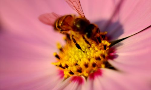 traitement non hormonal ménopause pollen